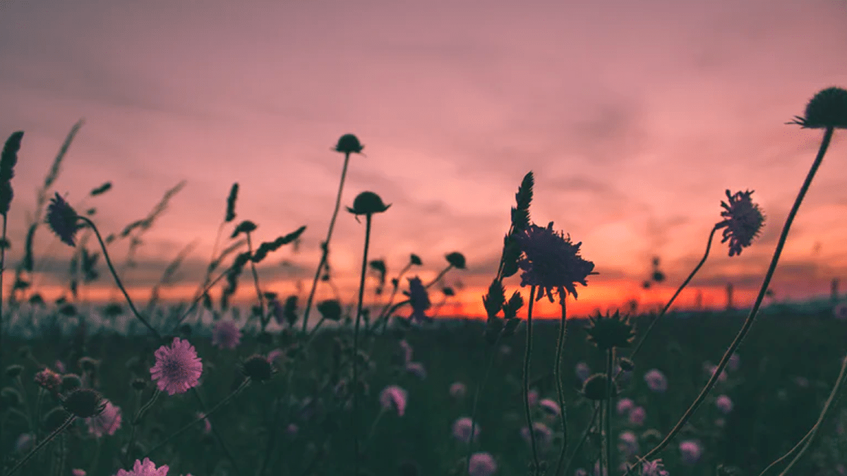 A field of flowers with the sun on the horizon.