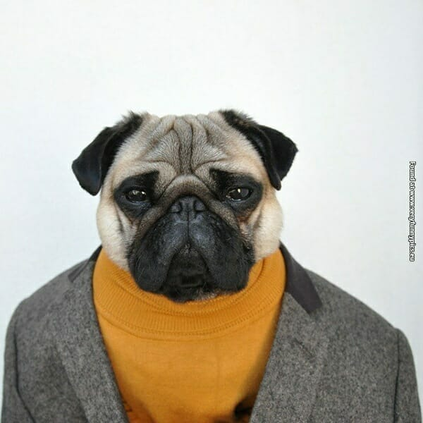 A well-dressed pug, wearing a turtleneck and blazer.