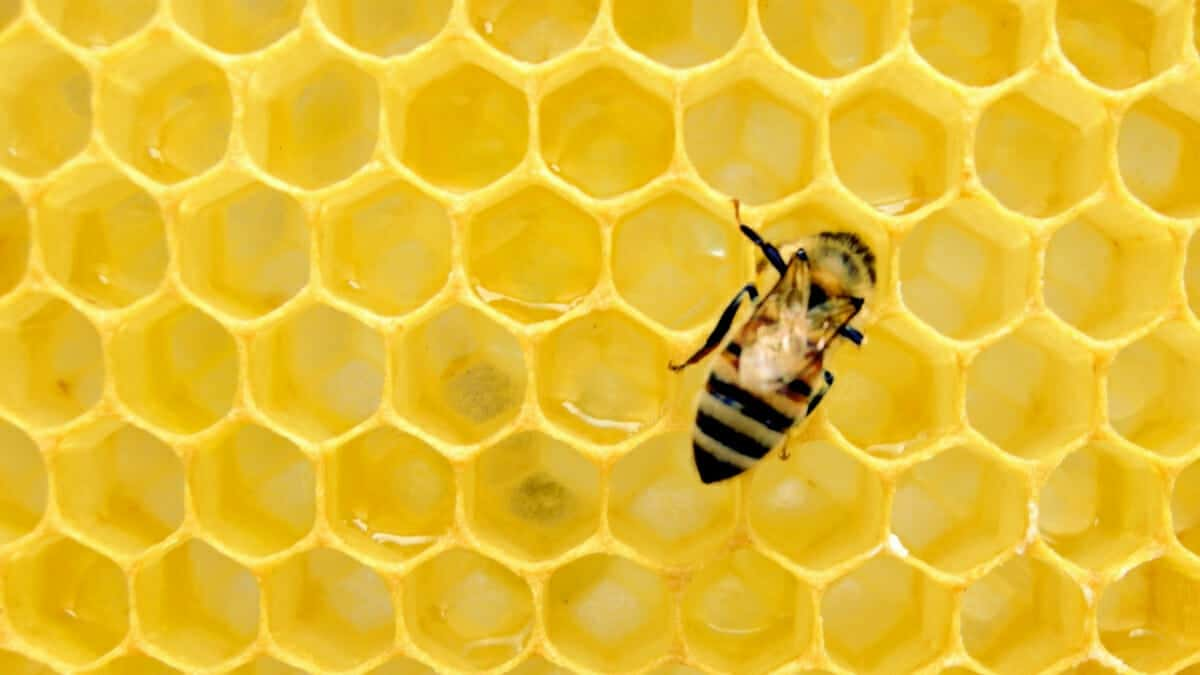 Bee crawling on a hive honeycomb